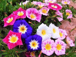 Sementes da Bela Manhã Tricolor Sortida