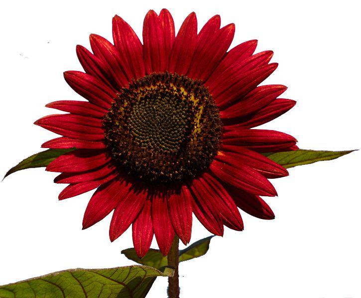 40 Sementes Da Flor Girassol Sol Vermelho