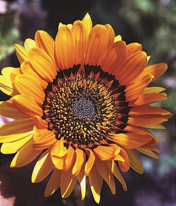 500 Sementes De Flor Venidio Laranja