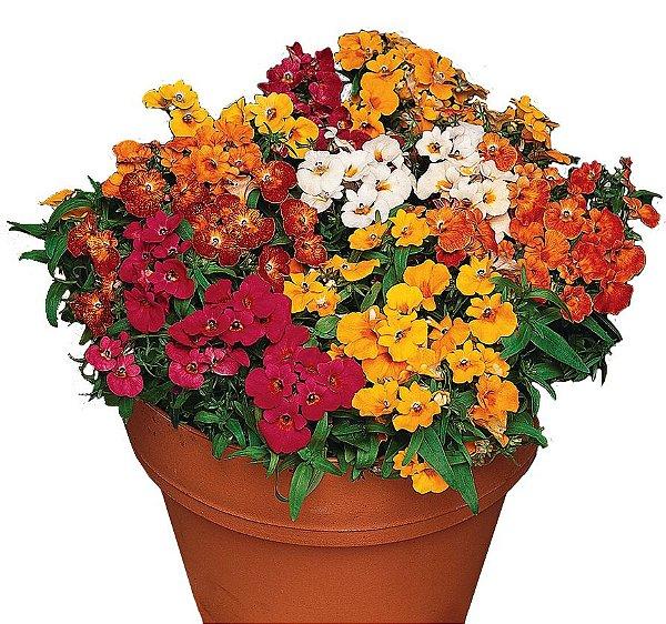 Sementes Flor Jóia Do Cabo Nemesia Strumosa