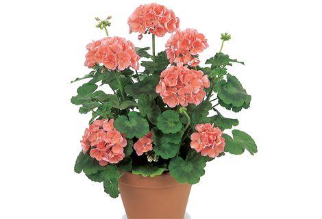 30 Sementes de Gerânio Pelargonium Sortido