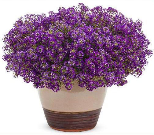 245 Sementes de Alyssum Violeta
