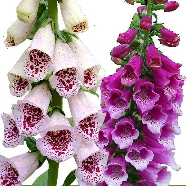 1600 Sementes Da Rara Flor De Gloxínia