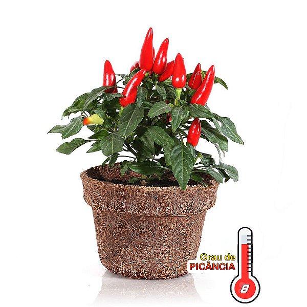 120 Sementes de Pimenta Picante para Vaso Capsicum annuum