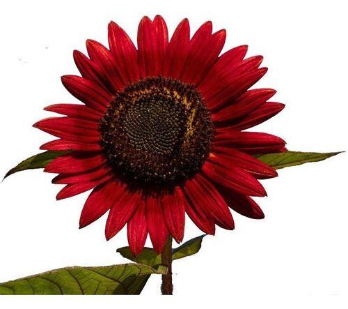 Sementes de Girassol Sol Vermelho.. Para casas e Jardins