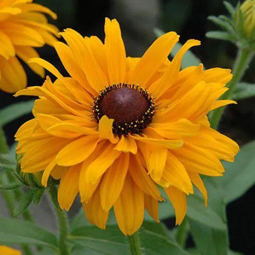 Sementes de Rudbeckia Amarela Hirta Sortida