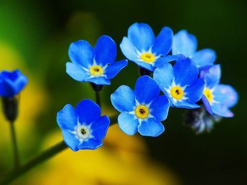 Sementes de Misótis Alpestris Azul