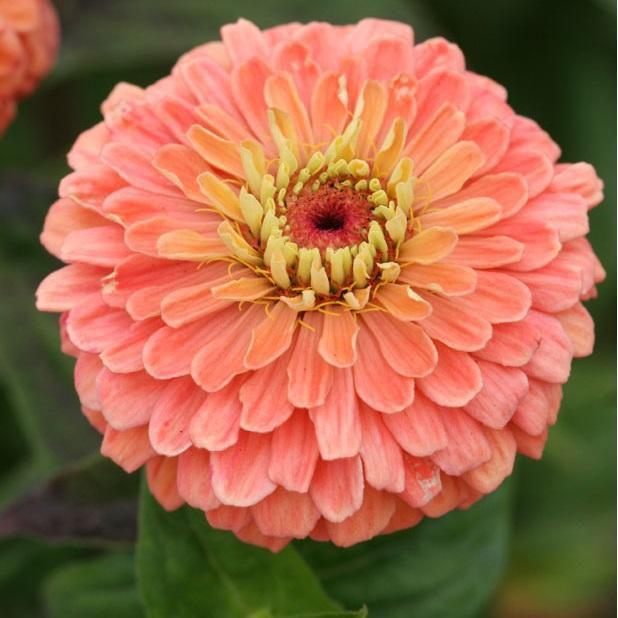 Sementes de Zinnia Dobrada Dahliaflora Salmão