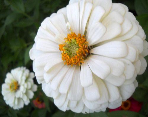 Sementes de Zinnia Gigante da Califórina Branca