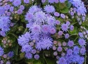 Sementes de Agerato Anão Terra Blue Mink - Azul