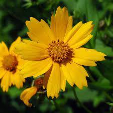 Sementes de Coreópsis Amarelo