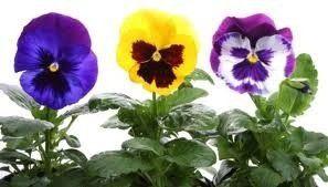Sementes Amor Perfeito Gigamte Suíço Sortido para belissimos Jardins