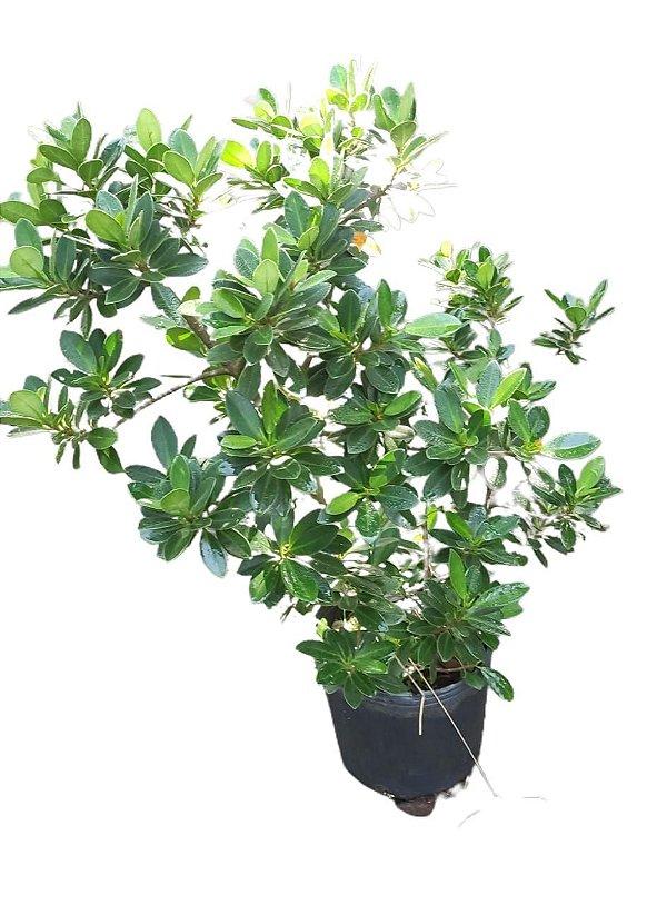 Ficus Australiano