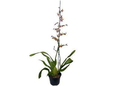 Orquídea Oncidium Sharry Baby - Chocolate