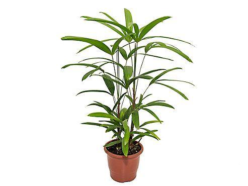 Palmeira Ráfis Premium - Pote 17 (0,50 a 0,60 cm)