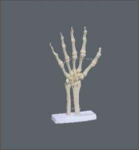 Esqueleto Da Mão Com Ossos Do Punho