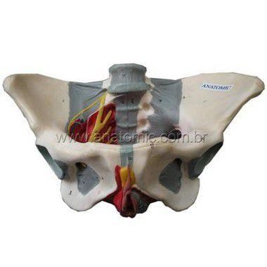 Esqueleto Da Pélvis Feminina Com Nervos E Ligamentos