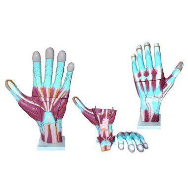 Mão Muscular ampliada com três partes