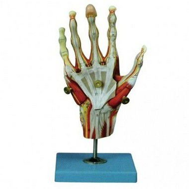 Músculo da mão com 5 partes