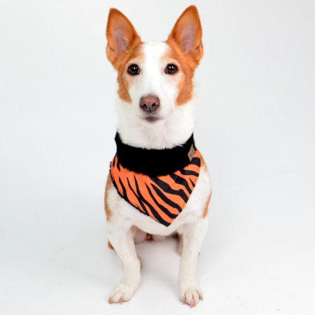 Bandana para Cachorros e Gatos Dupla Face Tigre