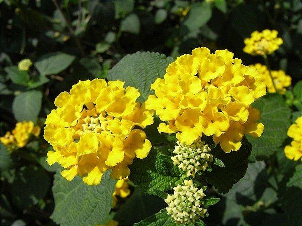Camara amarelo