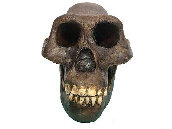 Crânio de Australopithecus afarensis