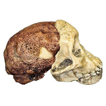 Crânio de Australopithecus africanus, Taung Child