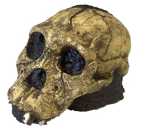 Crânio de Australopithecus sediba