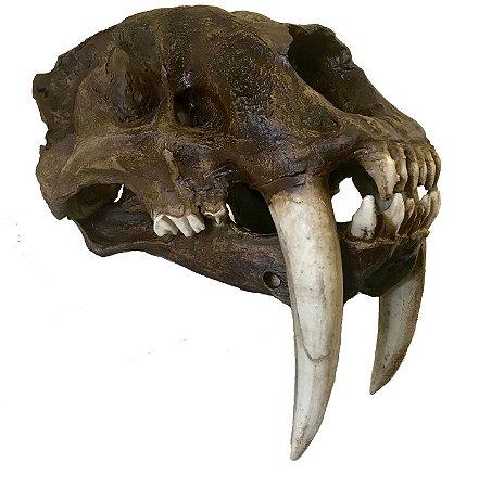 Crânio de Tigre Dentes de Sabre (Smilodon fatalis)