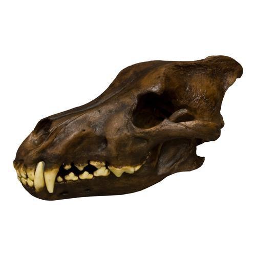 Crânio de Canis dirus - Lobo do pleistoceno