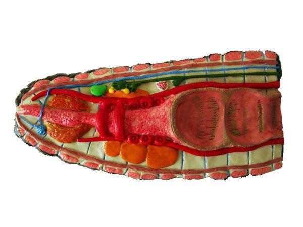 Anatomia básica de minhoca (anelídeo)