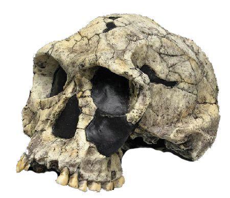 Crânio de Homo habilis