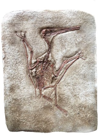 Réplica de Pterodactylus longirostris