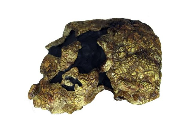 Crânio de Kenyanthropus platyops