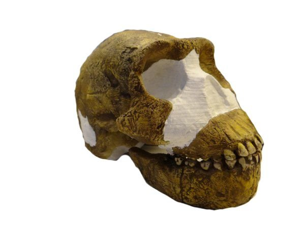 Crânio de Homo naledi