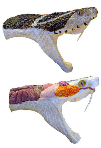 Anatomia Básica de cabeça de Viperídeo