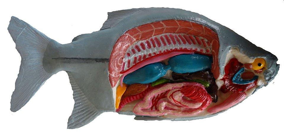 Anatomia básica de peixe ósseo