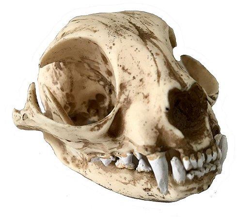 Crânio de gato doméstico