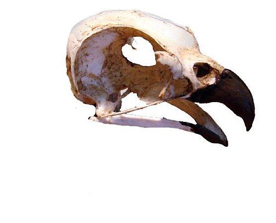 Crânio Ave de Rapina 3 (Leptodon cayanensis)