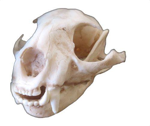 Crânio de Jaguatirica (Leopardus pardalis)