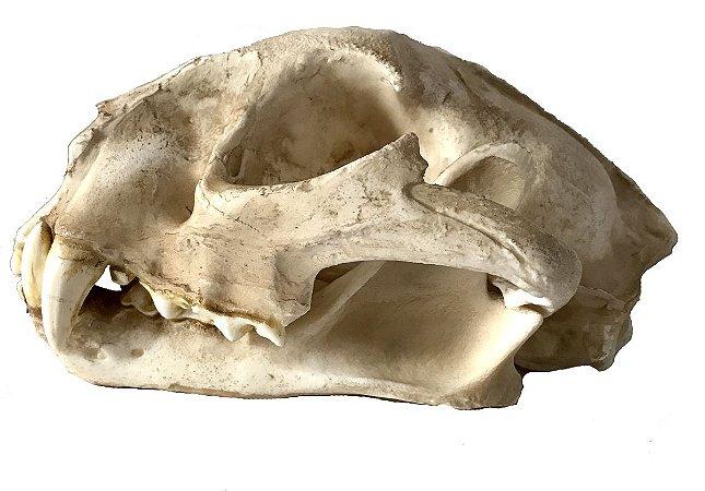 Crânio de onça parda (Puma concolor)