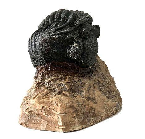 Trilobita Phacops