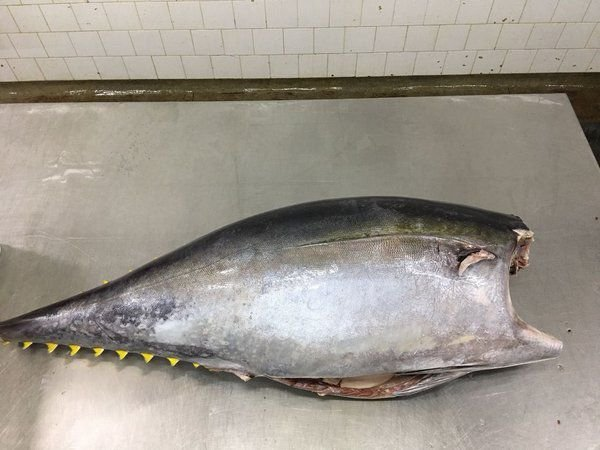 TUN FISH (Thunnus) - AMAZON EXPORT