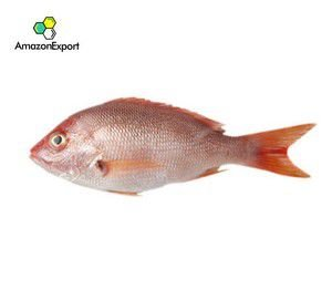 RED SNAPPERS (Lutjanus campechanus) - Amazon Export