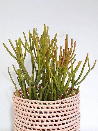 Cacto Euphorbia Tirucali | Pote Extra Grande