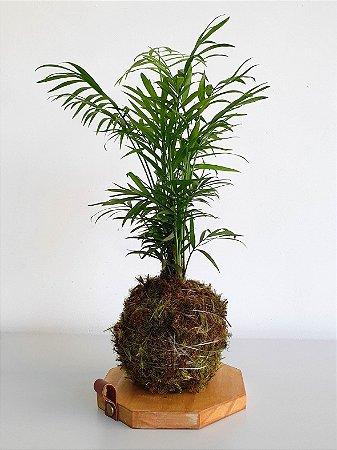 Kokedama com suporte em madeira   Palmeira chamaedorea