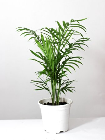 Palmeira Chamaedorea | Pote Pequeno