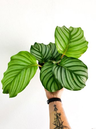 Maranta Orbifolia | Pote Grande