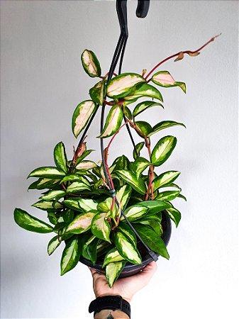 Hoya Carnosa Tricolor   Cuia Grande