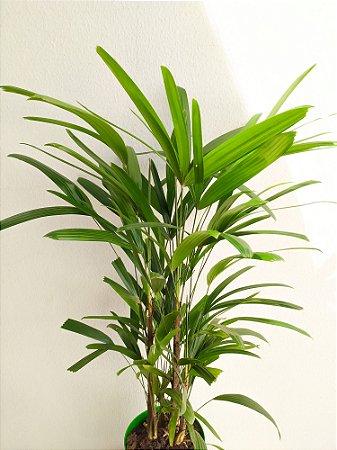 Palmeira Raphis (aprox. 1,20m) | Extra Grande